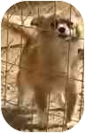 Chihuahua Dog for adoption in Cole Camp, Missouri - Tootsie