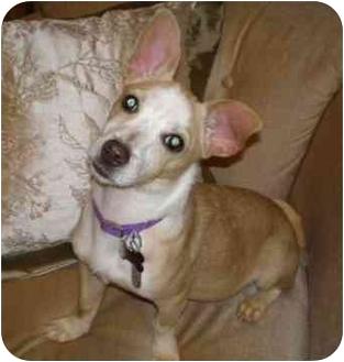 Chihuahua/Terrier (Unknown Type, Medium) Mix Puppy for adoption in Barium Springs, North Carolina - ELLA