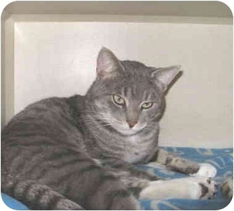 Domestic Shorthair Cat for adoption in Mesa, Arizona - Buster