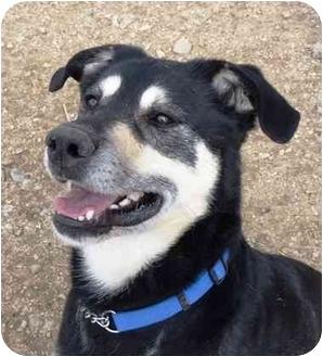 Shepherd (Unknown Type) Mix Dog for adoption in YERINGTON, Nevada - Nojack