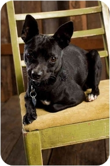 Boston Terrier Mix Dog for adoption in Portland, Oregon - Noble