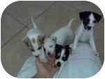 Jack Russell Terrier Mix Puppy for adoption in Austin, Texas - 4 JRT Puppies in Texas
