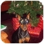 Photo 1 - Doberman Pinscher Dog for adoption in Green Cove Springs, Florida - Stormy