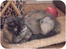 Calico Kitten for adoption in Medford, Massachusetts - Sasha