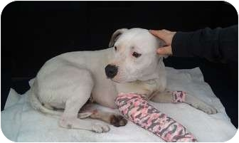 American Pit Bull Terrier/American Pit Bull Terrier Mix Dog for adoption in Youngwood, Pennsylvania - Gracie    Mamacita