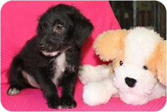 Jack Russell Terrier Mix Puppy for adoption in Salem, New Hampshire - Saute Pan