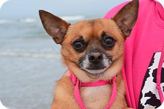 Chihuahua Dog for adoption in Xenia, Ohio - Taco