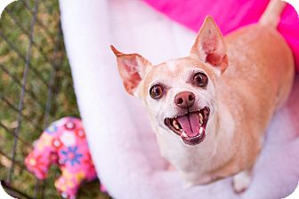 Chihuahua/Dachshund Mix Dog for adoption in Irvine, California - (courtesy listing) Winston