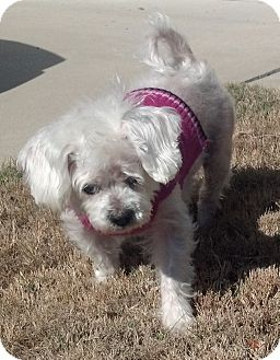 Maltese Dog for adoption in Fort Worth, Texas - Molly