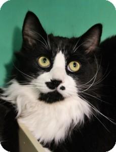 Domestic Mediumhair Kitten for adoption in Medford, Massachusetts - Ashton