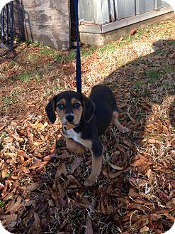 Australian Shepherd/Beagle Mix Puppy for adoption in Bedminster, New Jersey - Pixie