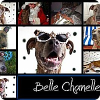 Adopt A Pet :: Belle - Missouri City, TX