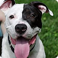 Adopt A Pet :: Pear - Reisterstown, MD