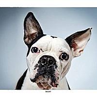 Adopt A Pet :: Rocky - New York, NY