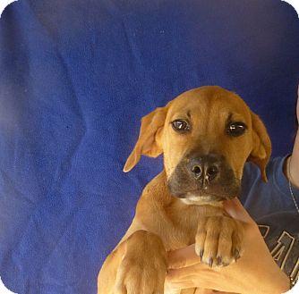 Bullmastiff/Labrador Retriever Mix Puppy for adoption in Oviedo, Florida - Zena