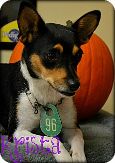 Chihuahua/Rat Terrier Mix Dog for adoption in Beaumont, Texas - Krista