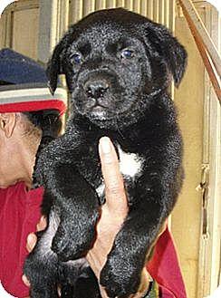 Newfoundland/Labrador Retriever Mix Puppy for adoption in Sunnyvale, California - Joe