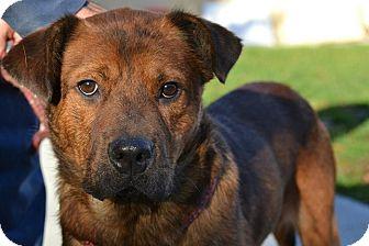 Shepherd (Unknown Type) Mix Dog for adoption in Brookhaven, New York - Simon
