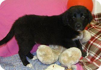 Collie/Labrador Retriever Mix Puppy for adoption in Buchanan Dam, Texas - Tank