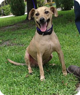 Black Mouth Cur Mix Dog for adoption in Slidell, Louisiana - Boudreaux
