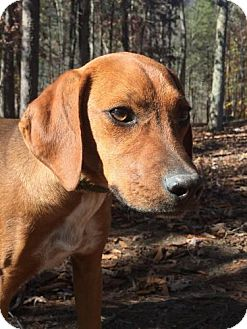 Redbone Coonhound Mix Puppy for adoption in Allentown, Pennsylvania - Ann ($400)