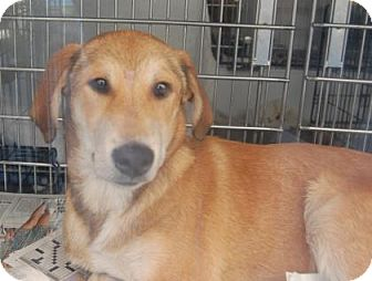 Shepherd (Unknown Type) Mix Dog for adoption in Brooklyn, New York - Berty