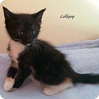 Adopt A Pet :: Lollipop - Merrifield, VA