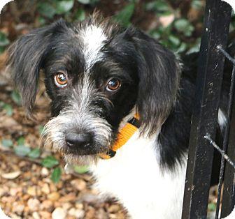 Schnauzer (Miniature)/Spaniel (Unknown Type) Mix Dog for adoption in Bedminster, New Jersey - Jake - MEET HIM