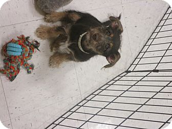 Poodle (Toy or Tea Cup) Mix Puppy for adoption in DeRidder, Louisiana - Kiki