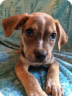 Boxer/Pointer Mix Puppy for adoption in Kittery, Maine - Boston