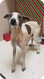 Greyhound/Basenji Mix Dog for adoption in Pompton Lakes, New Jersey - Melody