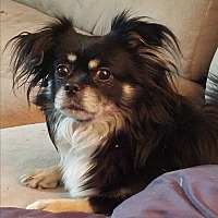 Chihuahua Dog for adoption in Linden, New Jersey - Charlotte