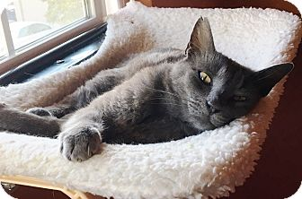 Russian Blue Cat for adoption in Castro Valley, California - Jazz