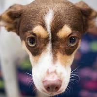 Adopt A Pet :: Penelope - Bryan, TX