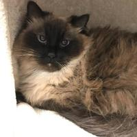 Adopt A Pet :: Muffy - Jackson, WY