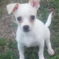 Adopt A Pet :: Dobby Orlando Chapter - Orlando, FL