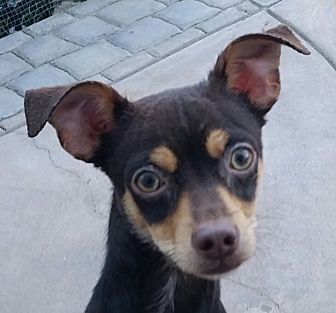 Miniature Pinscher/Chihuahua Mix Dog for adoption in Oakley, California - Chili