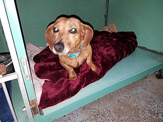 Dachshund Dog for adoption in Lubbock, Texas - GILLY