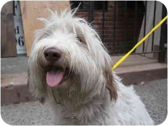 Bearded Collie Dog for adoption in Long Beach, New York - Penny