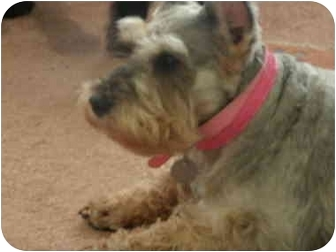 Miniature Schnauzer Dog for adoption in North Benton, Ohio - Molly