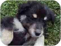 German Shepherd Dog/Samoyed Mix Puppy for adoption in Scio, Ohio - Tippy