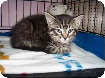 Domestic Shorthair Kitten for adoption in Frenchtown, New Jersey - Snickers