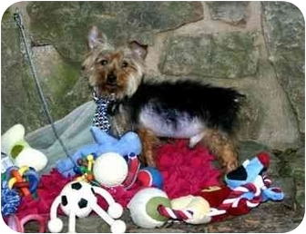 Yorkie, Yorkshire Terrier Dog for adoption in Muldrow, Oklahoma - Maximo
