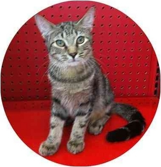 Domestic Shorthair Kitten for adoption in Sugar Land, Texas - JJ