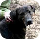 Hound (Unknown Type)/Labrador Retriever Mix Dog for adoption in Seattle, Washington - Jaime - FOSTER NEEDED!
