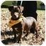 Photo 2 - Dachshund/Labrador Retriever Mix Dog for adoption in Hendersonville, Tennessee - Downie