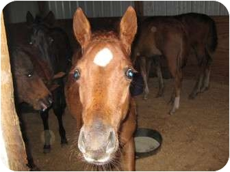 Quarterhorse for adoption in Dewey, Illinois - Scarlet