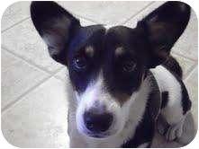 Corgi Mix Puppy for adoption in Houston, Texas - Molly