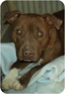 American Pit Bull Terrier/American Pit Bull Terrier Mix Dog for adoption in Pie Town, New Mexico - DAWSON