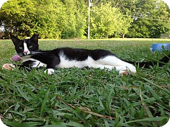 Domestic Shorthair Cat for adoption in Monroe, North Carolina - Willie